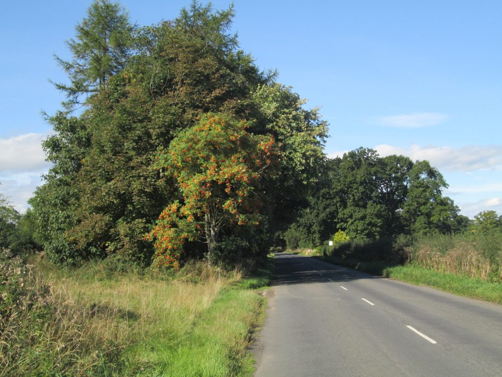 Rowan bush