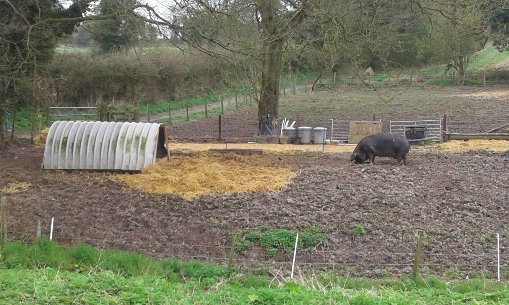 Wiltshire pig