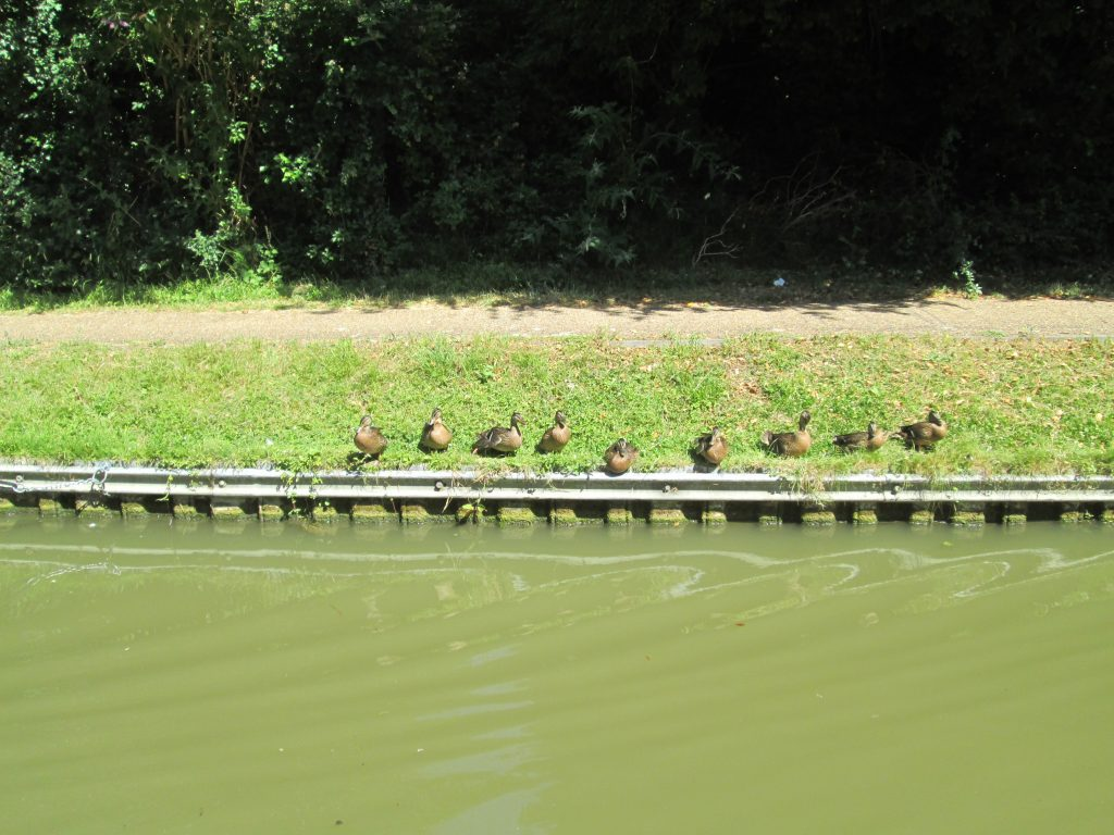 Lady ducks gather