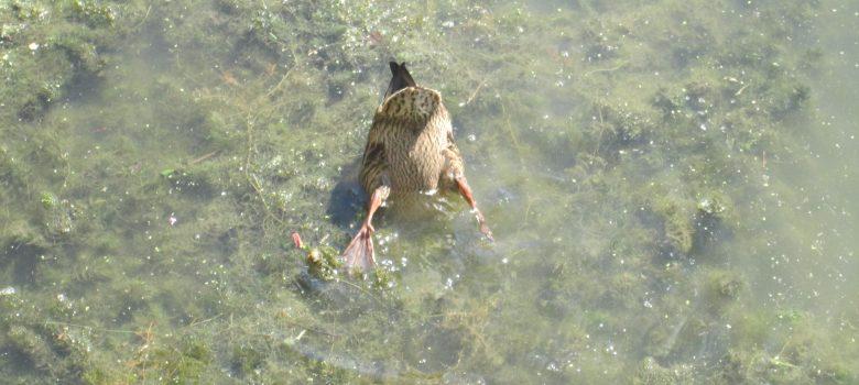 Duck friendly