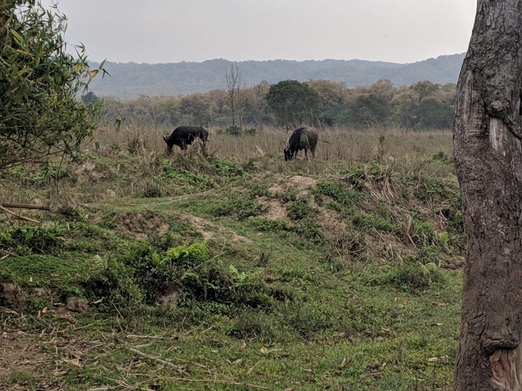 Chitwan National Park - Water Buffalo