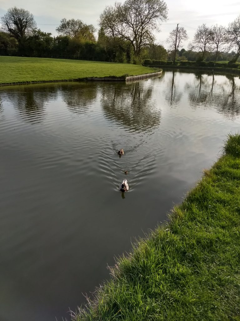 Solitary duckling. Grand Union Canal.