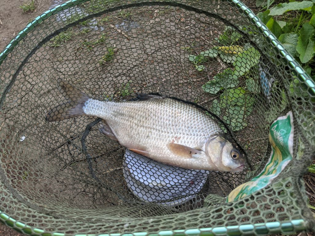 A 2lb roach from Oxford Canal