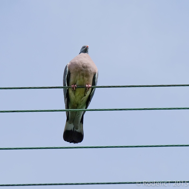 Wood pigeon on wire